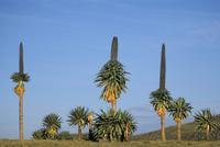 Giant lobelia, Simien Mountains National Park, UNESCO World Heritage Site, Ethiopia, Africa