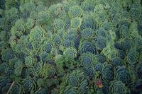 Sempervivum montanum, Westport, South Island, New Zealand, Pacific