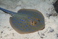 Blue spotted lagoon ray (Dasyatis kuhlli), Red Sea, Sudan, Africa