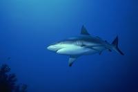 Grey reef shark (Carcharhinus amblyrynchos), Red Sea, Sudan, Africa 20025354739| 写真素材・ストックフォト・画像・イラスト素材|アマナイメージズ