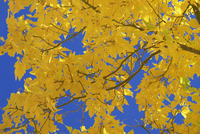 Close-up of golden autumn leaves in the Zion National Park, Utah, United States of America, North America