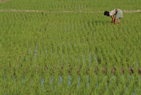 Share-cropper tending rice in paddyfield, Parganas District, West Bengal State, India, Asia 20025355133| 写真素材・ストックフォト・画像・イラスト素材|アマナイメージズ