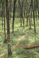 Rubber trees, Karnataka state, India, Asia 20025355152| 写真素材・ストックフォト・画像・イラスト素材|アマナイメージズ