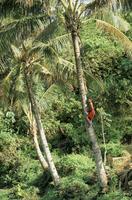 Boy climbing coconut palm, Lalomanu Beach, Upolu Island, Western Samoa, Pacific 20025355162| 写真素材・ストックフォト・画像・イラスト素材|アマナイメージズ
