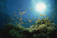 Reef scene with Anthias fish and coral, Red Sea, Egypt, Africa