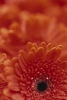 Detail of a red gerbera, stacked 20025355307| 写真素材・ストックフォト・画像・イラスト素材|アマナイメージズ