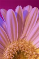 Portrait of UV white gerbera centre and petals 20025355309| 写真素材・ストックフォト・画像・イラスト素材|アマナイメージズ