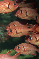 Schooling squirrel fish (Sargocentron species) are nocturnal, Similan Islands, Thailand, Southeast Asia, Asia 20025355313| 写真素材・ストックフォト・画像・イラスト素材|アマナイメージズ