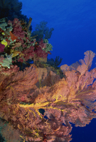 Seafan and soft coral