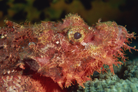 Scorpion fish (Scorpaenopsis) have venomous spines for defence, Similan Islands, Thailand, Southeast Asia, Asia