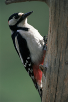 Greater spotted woodpecker (Dendrocopos major), Finland, Scandinvia, Europe 20025355331| 写真素材・ストックフォト・画像・イラスト素材|アマナイメージズ