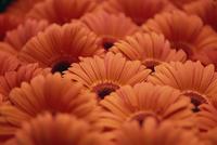 Close-up of Gerberas 20025355340| 写真素材・ストックフォト・画像・イラスト素材|アマナイメージズ