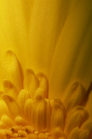 Close-up of Gerbera flower 20025355345| 写真素材・ストックフォト・画像・イラスト素材|アマナイメージズ