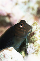 Goby lives in holes in coral, Aldabra, Seychelles, Indian Ocean, Africa 20025355349  写真素材・ストックフォト・画像・イラスト素材 アマナイメージズ
