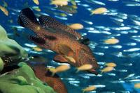 Coral grouper hangs motionless as it awaits small fish prey, Cephalopholis miniata, Simian Islands, Thailand, Southeast Asia, As 20025355355| 写真素材・ストックフォト・画像・イラスト素材|アマナイメージズ