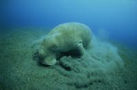 Feeding on sea grass, Endangered Dugong dugon, EPI Dugong, Vanuatu, Pacific Ocean, Pacific 20025355371| 写真素材・ストックフォト・画像・イラスト素材|アマナイメージズ