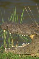 Crocodile basking in sun on riverbank, Masai Mara, Kenya, East Africa, Africa