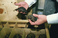 Inspector Tim Luffman inspects shipment of reptiles en route Tanzania to Japan, comprising five Aldabran tortoises, Customs, Lon 20025355392| 写真素材・ストックフォト・画像・イラスト素材|アマナイメージズ