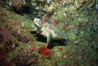 Hawksbill turtle resting on ledge of reef, Sabah, Malaysia, Borneo, Southeast Asia, Asia 20025355410  写真素材・ストックフォト・画像・イラスト素材 アマナイメージズ