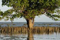 Mangroves, Sand Island, Tanzania, East Africa, Africa