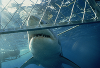 Great white shark from shark cage, Australia, Pacific