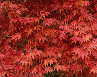 Close-up of Acer tree foliage in autumn