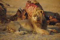 Lion (Panthera leo), Okavango Delta, Botswana, Africa 20025356204| 写真素材・ストックフォト・画像・イラスト素材|アマナイメージズ