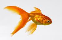 Goldfish 20025356280| 写真素材・ストックフォト・画像・イラスト素材|アマナイメージズ