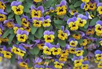 Viola flowers 20025356441| 写真素材・ストックフォト・画像・イラスト素材|アマナイメージズ