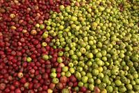 Cider apples, Normandy, France, Europe 20025357138  写真素材・ストックフォト・画像・イラスト素材 アマナイメージズ