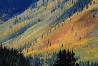 Aspen pines, San Jaun Skyway, near Silverton, Colorado, United States of America