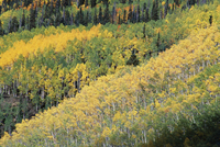 Aspen trees in the fall, San Juan Skyway, Colorado, United States of America (U.S.A.), North America
