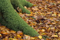 Moss covered tree foot and autumn leaves, New Forest, Hampshire, England, United Kingdom, Europe