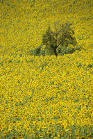 High angle view of a field of sunflowers in Gascoigne (Gascony) in the Midi-Pyrenees, France, Europe 20025357405  写真素材・ストックフォト・画像・イラスト素材 アマナイメージズ