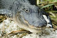 Alligator, Everglades National Park, Florida, United States of America, North America