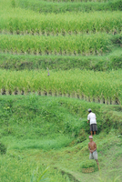 Rice fields, Bali, Indonesia 20025357817  写真素材・ストックフォト・画像・イラスト素材 アマナイメージズ