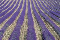 Lavender field, Sault, Vaucluse, Provence, France, Europe 20025357855  写真素材・ストックフォト・画像・イラスト素材 アマナイメージズ