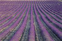 Fields of lavender, Sauli, Vaucluse, Provence, France, Europe 20025357905  写真素材・ストックフォト・画像・イラスト素材 アマナイメージズ
