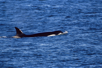 Killer whale (Orcinus orca) swimming near Sea Lion Island, Falkland Islands, South Atlantic, South America