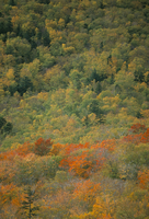 Trees in autumn (fall), White Mountain National Forest, New Hampshire, New England, United States of America, North America