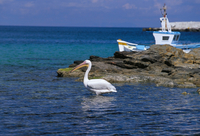 Pelican in Mykonos harbour, Mykonos, Cyclades islands, Greece, Mediterranean, Europe