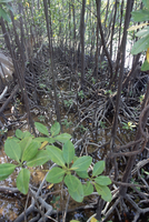 Mangroves, south coast, island of Curieuse, Seychelles, Indian Ocean, Africa 20025358074| 写真素材・ストックフォト・画像・イラスト素材|アマナイメージズ
