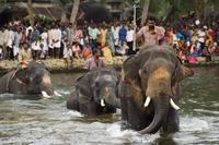 Elephant River Crossing,Kerala,India 20025358261  写真素材・ストックフォト・画像・イラスト素材 アマナイメージズ