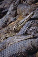 Crocodiles,Queensland,Australia