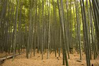 Stone lantern, bamboo forest, Kamakura city, Kanagawa prefecture, Honshu island, Japan, Asia 20025358573  写真素材・ストックフォト・画像・イラスト素材 アマナイメージズ