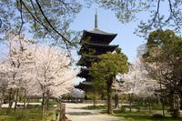 Toji pagoda, UNESCO World Heritage Site, spring cherry blossom, Kyoto city, Honshu island, Japan, Asia 20025358582| 写真素材・ストックフォト・画像・イラスト素材|アマナイメージズ