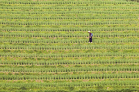 Farmer spraying rice crops for harvest at the Dragons Backbone rice terraces, Longsheng, Guangxi Province, China, Asia 20025358595  写真素材・ストックフォト・画像・イラスト素材 アマナイメージズ