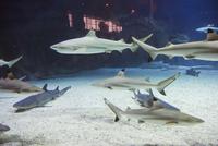 Shark tank at the Beijing Aquarium, Beijing, China, Asia