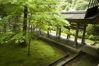Ryoanji temple moss garden, Ryoan-ji temple, UNESCO World Heritage Site, Kyoto city, Honshu, Japan, Asia