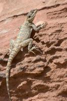 Desert lizard, Petra, Wadi Musa (Mousa), Jordan, Middle East